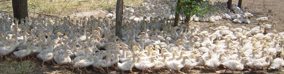 フォアグラカナールマグレオア合鴨ロース胸肉鵞鳥