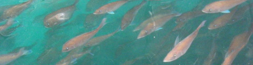 マダイ真鯛